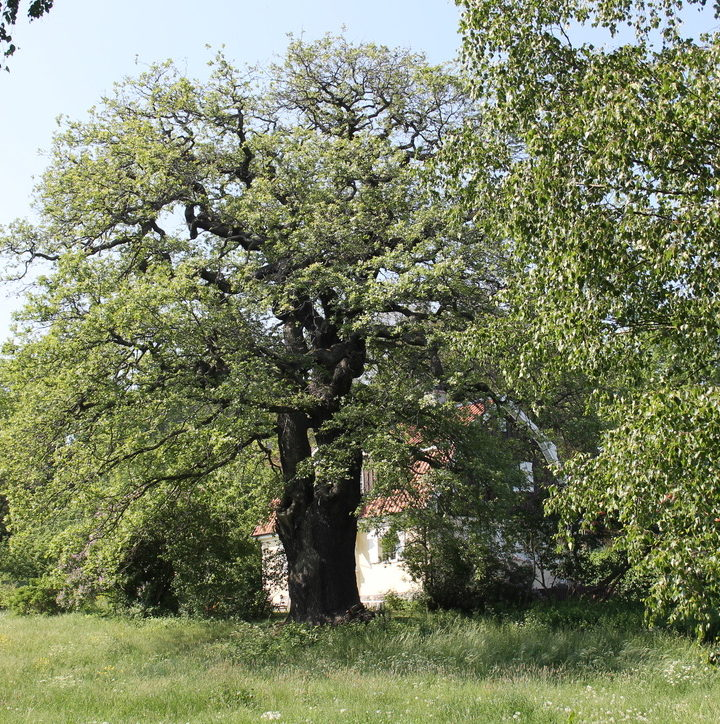 No joke: an oak tree tracks sea levels in Sweden