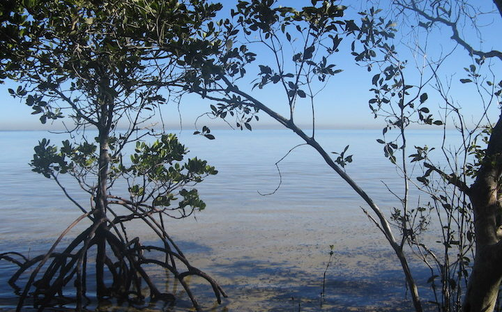 Rapid sea level rise may wreck world's mangroves by 2050
